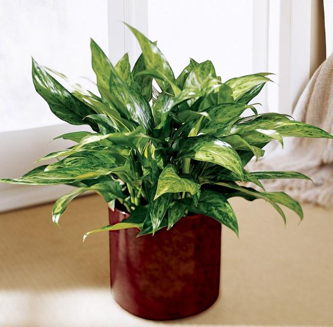 Cây phú quý được ưa trồng bởi nhiều người dựa theo tính phong thủy và thẩm mỹ cao của nó.