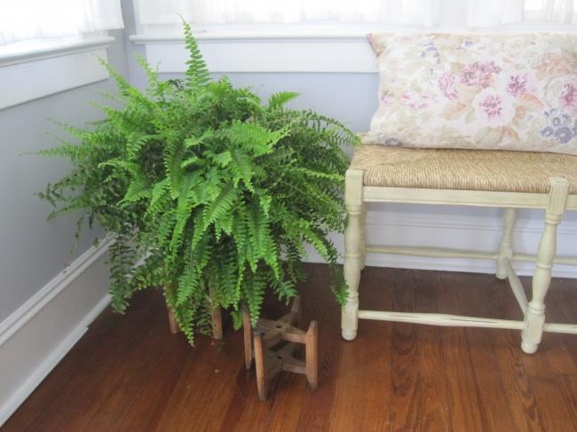 Cây dương xỉ không ưa sự khô hanh nhưng cực kỳ thích sống trong bóng râm.