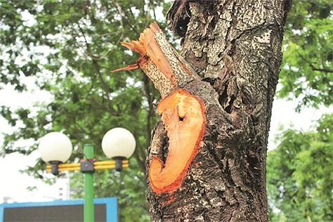 Sau khi cắt cành, cây xanh chưa được bảo vệ khỏi sự xâm nhập của các loài sâu bệnh hại.
