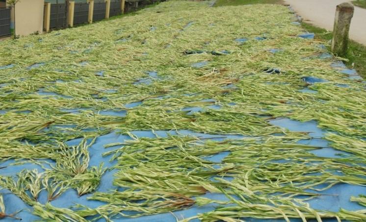 Lá lụi, nguyên liệu làm nón quan trọng của làng Chuông.