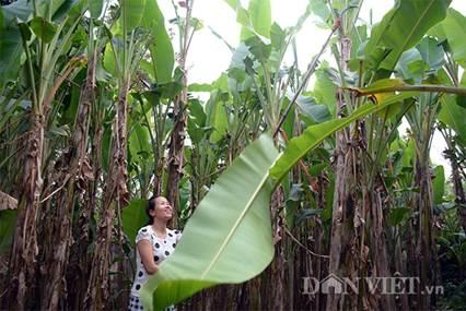Chọn nguyên liệu lá chuối để gói giò (Nguồn ảnh: danviet.vn)